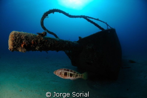 Blacktail comber posing at the bow of the Estoril shipwreck. by Jorge Sorial 